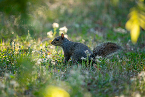 Gray squirrel eating food on a grass patch in Wilmington, NC