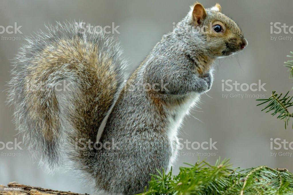Gray squirrel (Sciurus carlinensis) sitting up looking around. stock photo