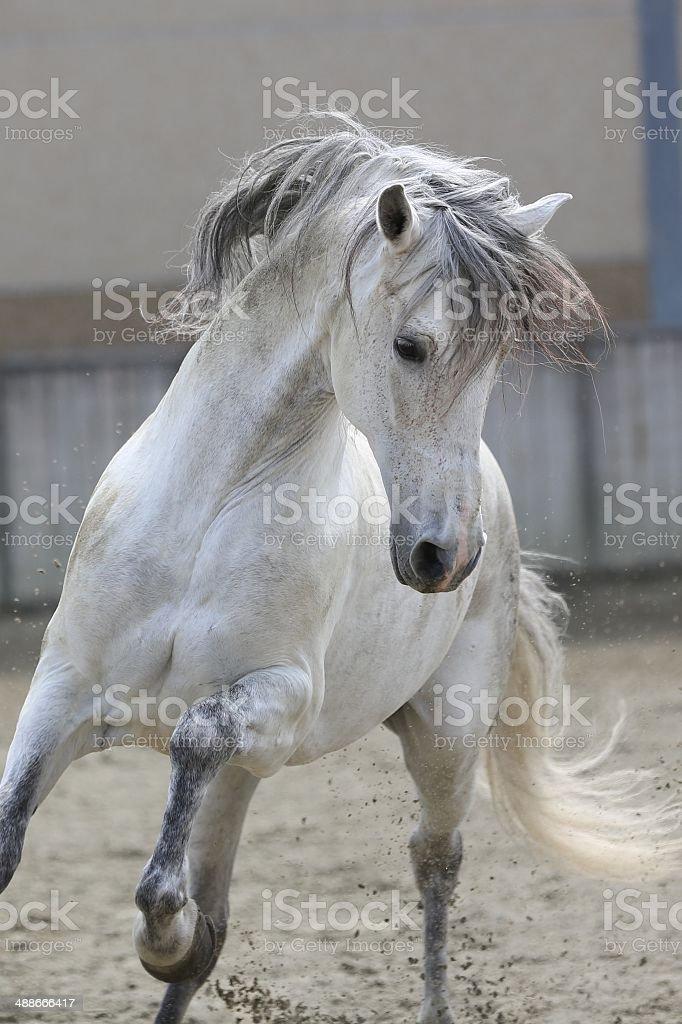 Gray stallion cantering stock photo