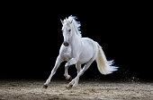 Gray stallion galloping