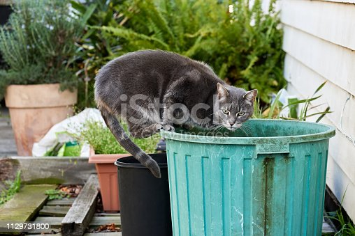 Interrupted while drinking from a green storm water catching bin, a gray street cat surveys its surroundings.