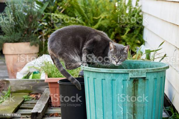 Gray stray feline cat balancing on a dirty green plastic bin to get a picture id1129731800?b=1&k=6&m=1129731800&s=612x612&h=whhlrpshvjol9clmzuqvv uc6ck9up5l8pzxhzc o1w=