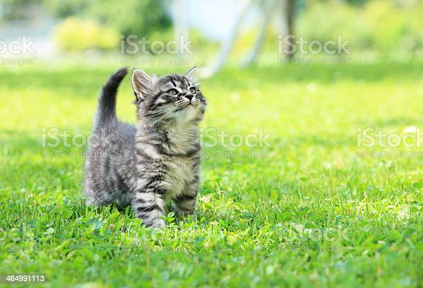 Gray striped kitten in green grass picture id464991113?b=1&k=6&m=464991113&s=612x612&h=0nnc5glat 2d2fwr7vfkcyfa ixnw8lh0sovv3zfbo8=