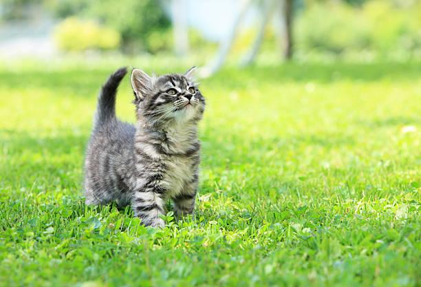 Gray striped kitten in green grass picture id464991113?b=1&k=6&m=464991113&s=612x612&w=0&h=t4pf4gusq53rd ooghng 8rcqxnpopvr0gueoj0xhp4=