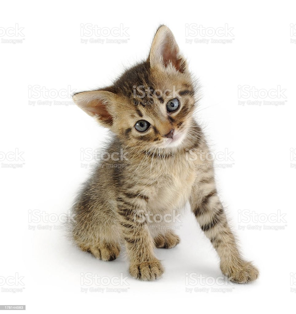gray striped kitten, sitting stock photo