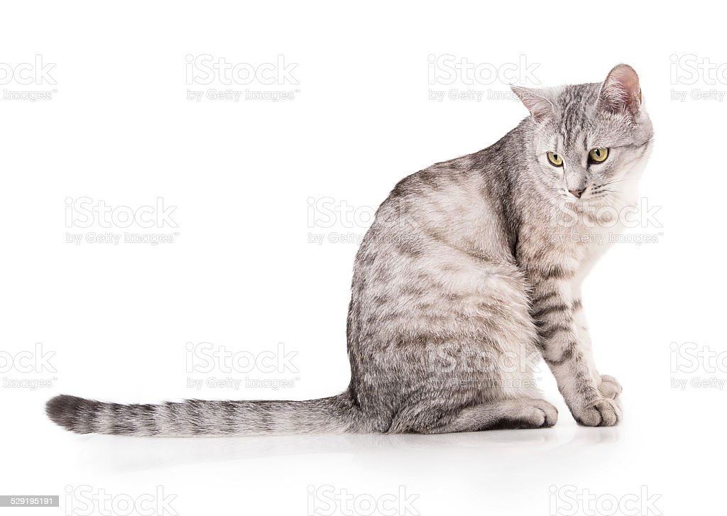 gray striped tabby cat stock photo