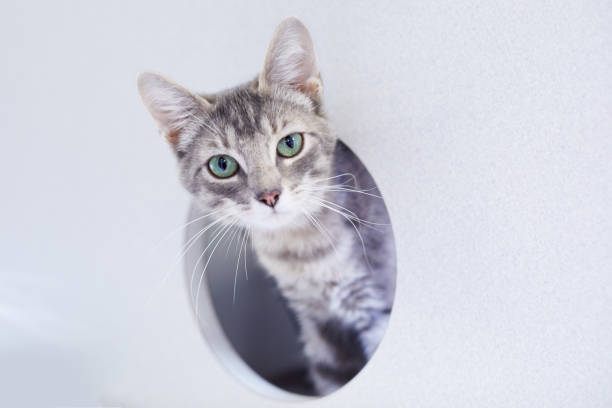Gray tabby cat is looking out of a round window in a cat condo picture id1139565998?b=1&k=6&m=1139565998&s=612x612&w=0&h=emhdb3xzh7rpue0q2j661m34oabo2tfdz5cosmv3 eq=