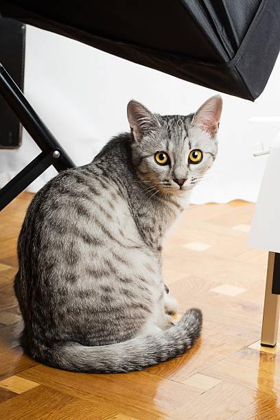 Gray tabby cat picture id509030989?b=1&k=6&m=509030989&s=612x612&w=0&h=mudr45eleba8g3s6ynujryakipojcbig7hyam6tsxr0=