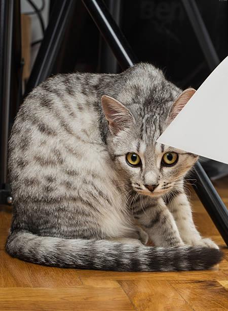 Gray tabby cat picture id509030991?b=1&k=6&m=509030991&s=612x612&w=0&h=mci9oes3pwjmsq5rp3qiicgcb2gzxcjzs flbwjgwf8=