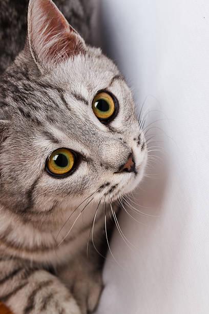Gray tabby cat picture id509030993?b=1&k=6&m=509030993&s=612x612&w=0&h=hywbt neswsbb0x13 9f09cqub9gvqwfbubv8ic2i w=