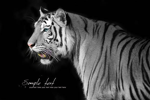 Gray tiger with black stripes and blue eyes on black backgro stock photo