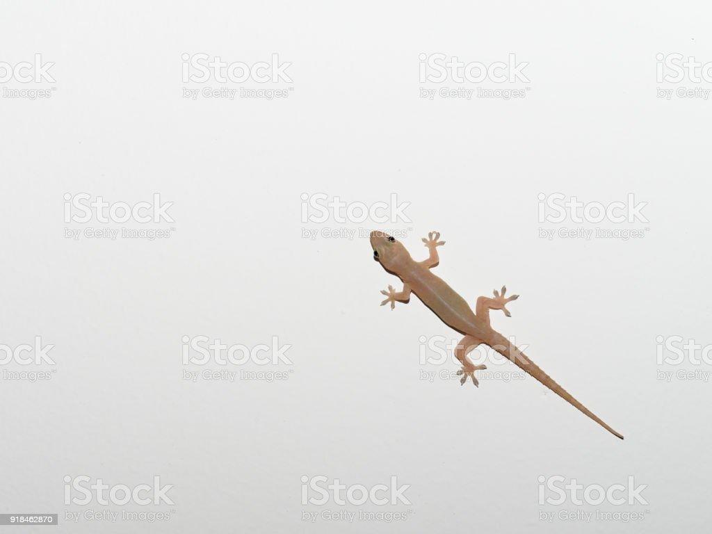 Fotografía de Gris Transparente Lagarto Reptil Pequeño Encontrado En ...