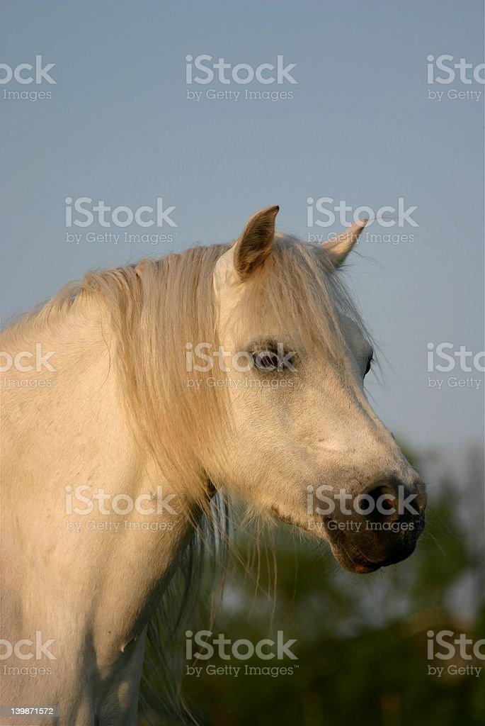 Gray welsh pony stock photo