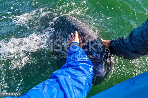 Gray Whale and Whale Watching Tourists at San Ignacio Lagoon, Baja California, Mexico, a friendly whale encounter.