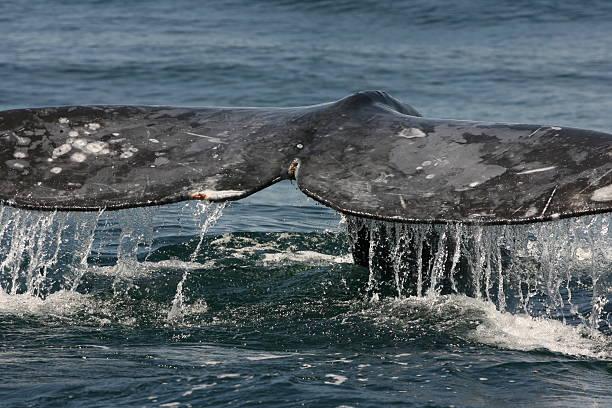 Gray Whale Flukes stock photo