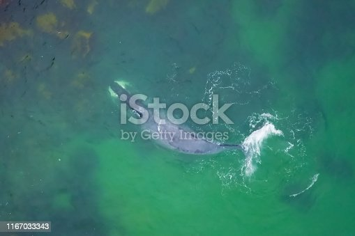 Gray whale in shallow ocean. Whale on top.