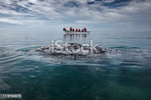 Gray whale surfaces next to a boat at San Ignacio Lagoon in the Sea of Cortés, Baja California.