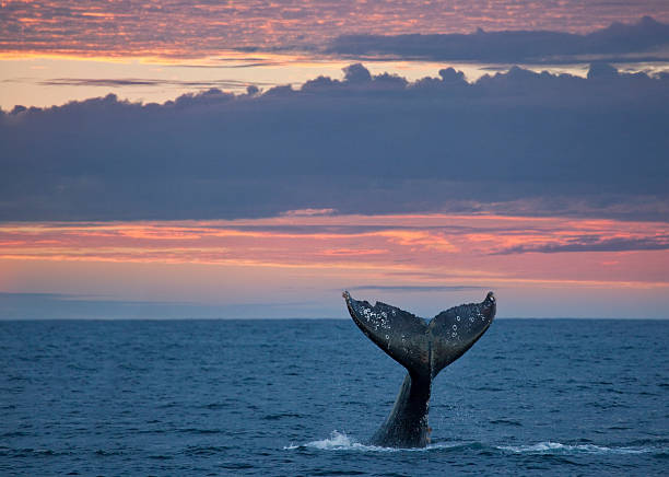 Gray Whale Tail at Sunset  whale stock pictures, royalty-free photos & images