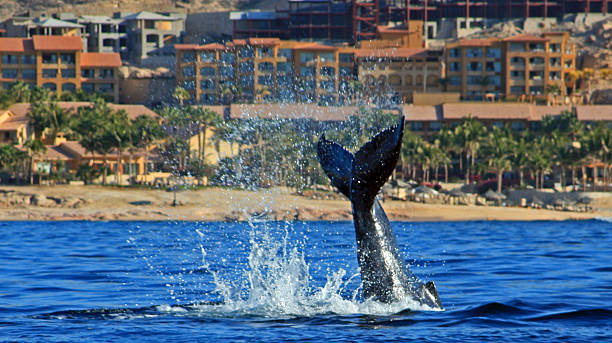 Gray Whale Tail Fin Fluke off the coast of Cabo stock photo