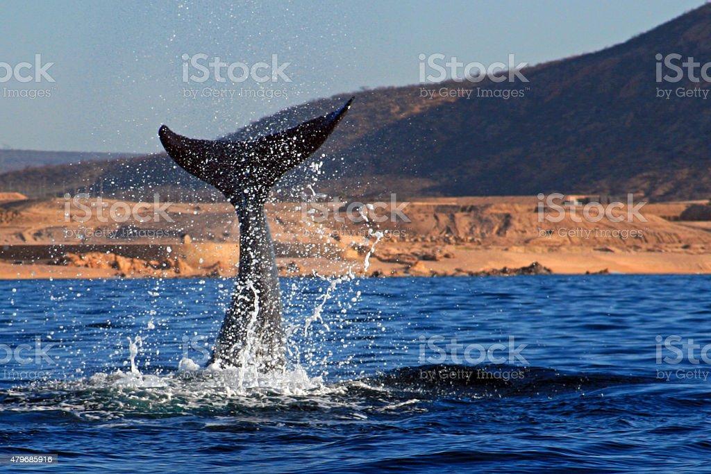 Gray Whale Tail Fin / Fluke Splashing near Cabo stock photo