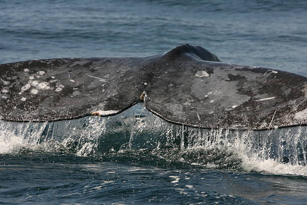 Gray Whale Tail stock photo