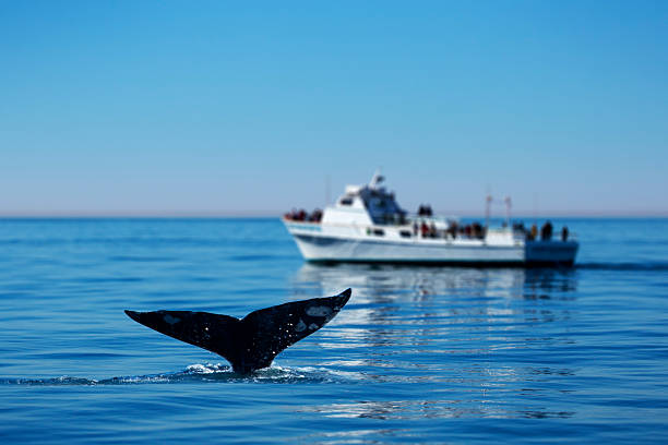 Gray Whale Watching – Foto