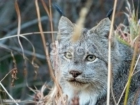 A close-up photo of the head of a wild gray Canadian Lynx looking at the camera while resting in dry autumn grass in the forest.  This photograph was taken in the wild in north Canadian Rockies of British Columbia, Canada.