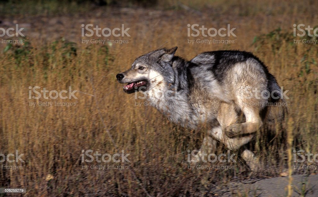 Gray Wold Chasing Prey stock photo
