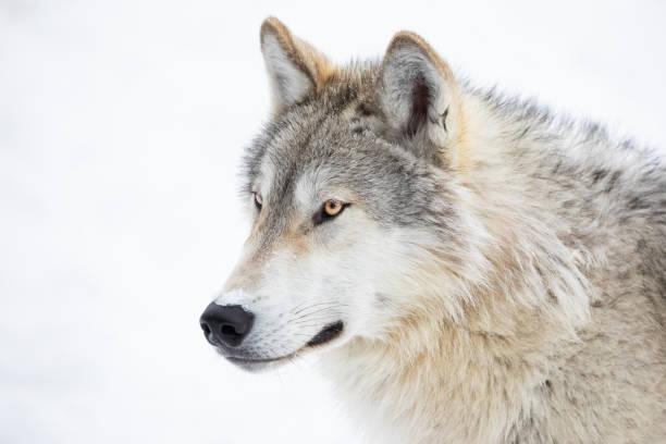gray wolf close-up in winter snow - lupo foto e immagini stock