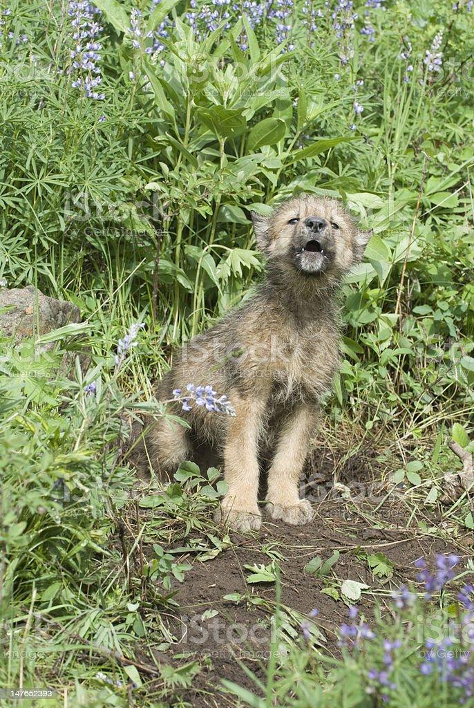 Gray wolf cub stock photo