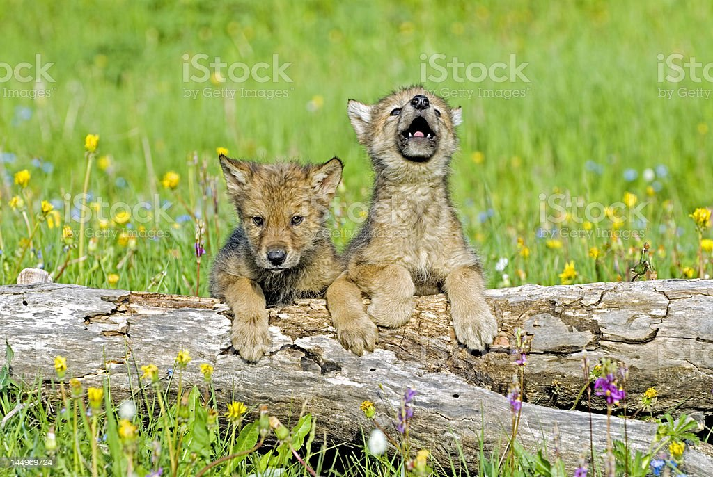 Gray wolf cubs stock photo