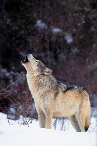 A Gray Wolf howls in a snowy forest opening in Montana.