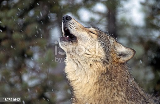 Close-up of gray wolf howling in light snow. MT.