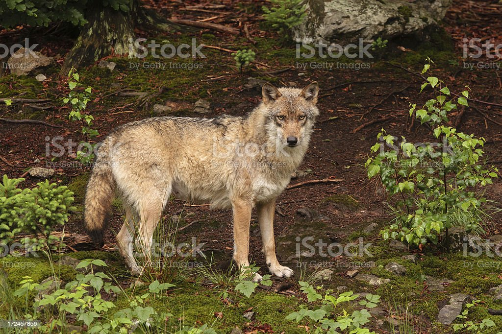 Gray Wolf In His Natural Habitat Stock Photo & More Pictures