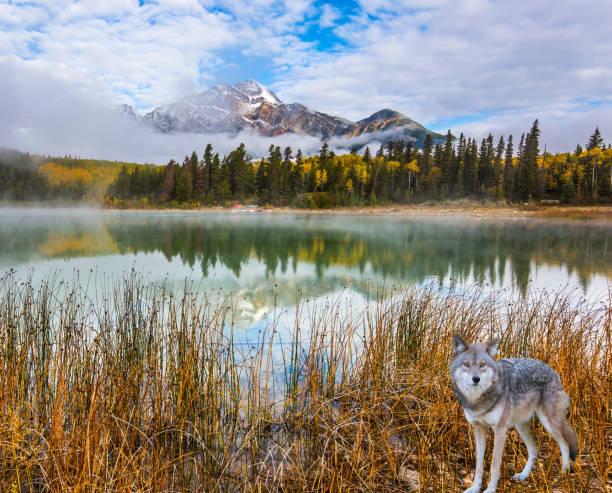 Loup gris dans les Rocheuses - Photo