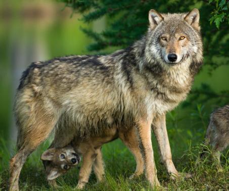 Gray Wolf In Trees With Funny Pup Underneath-foton och fler bilder på Beige