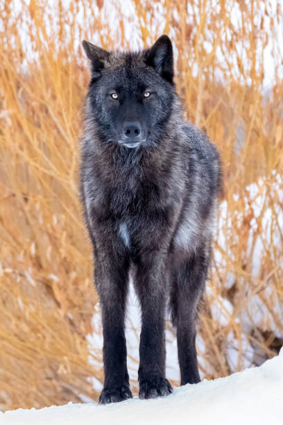 gray wolf in winter - lupo foto e immagini stock