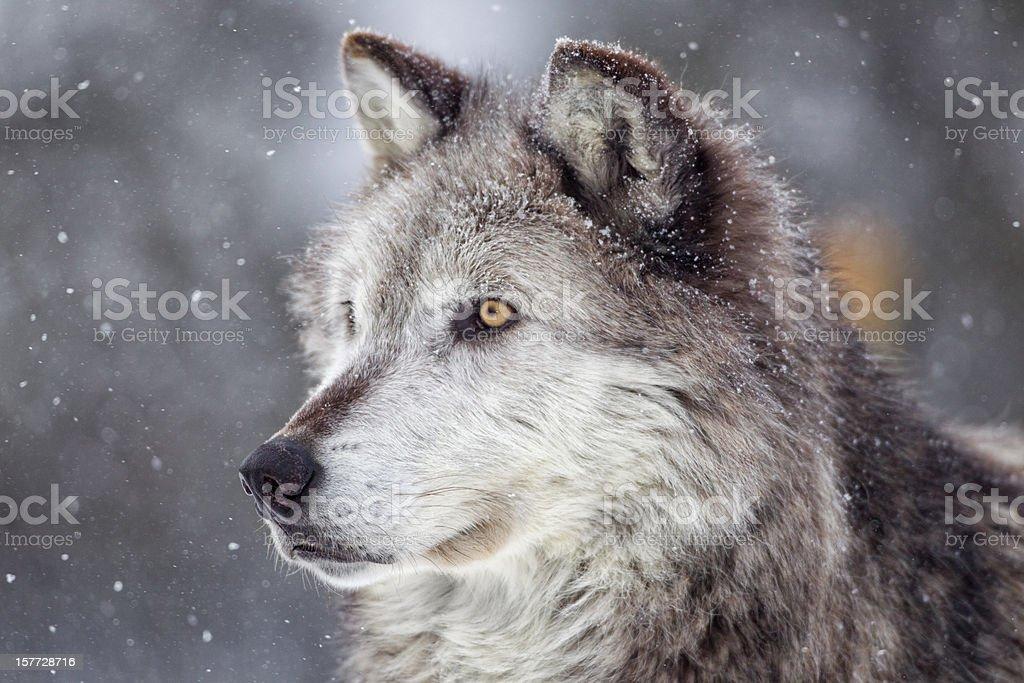 Lobo cinzento no Inverno - Royalty-free A nevar Foto de stock