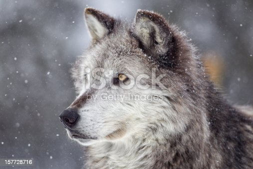Gray Wolf and winter snow