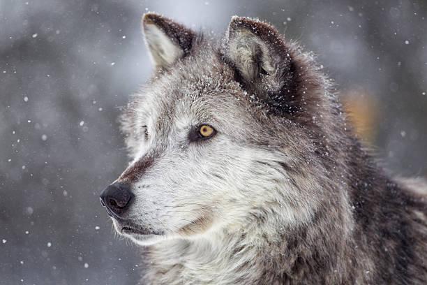 gray wolf  in winter - varg bildbanksfoton och bilder