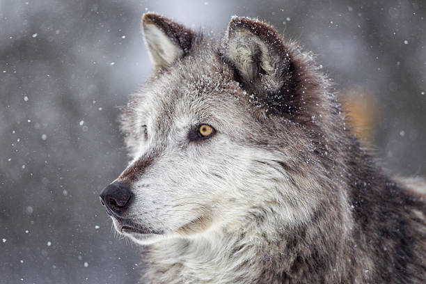 Gray Wolf  in Winter stock photo