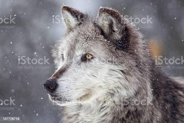 Lobo Cinzento No Inverno - Fotografias de stock e mais imagens de A nevar