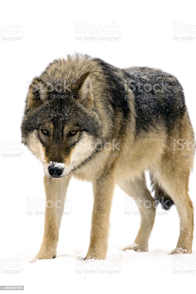 Gray wolf (Canis lupus) isolated stock photo