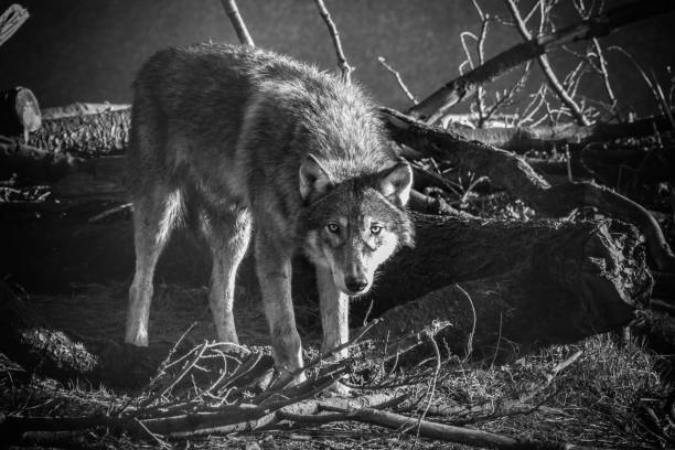 Grauer Wolf in die Kamera schaut – Foto
