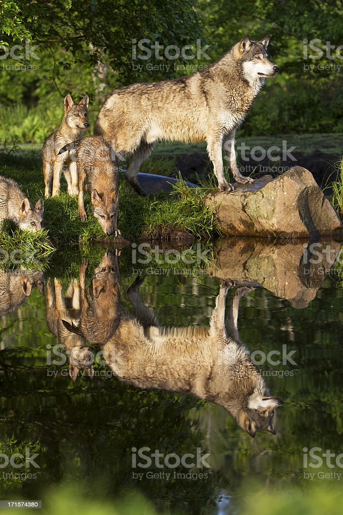 Gray wolf mother and pups. stock photo
