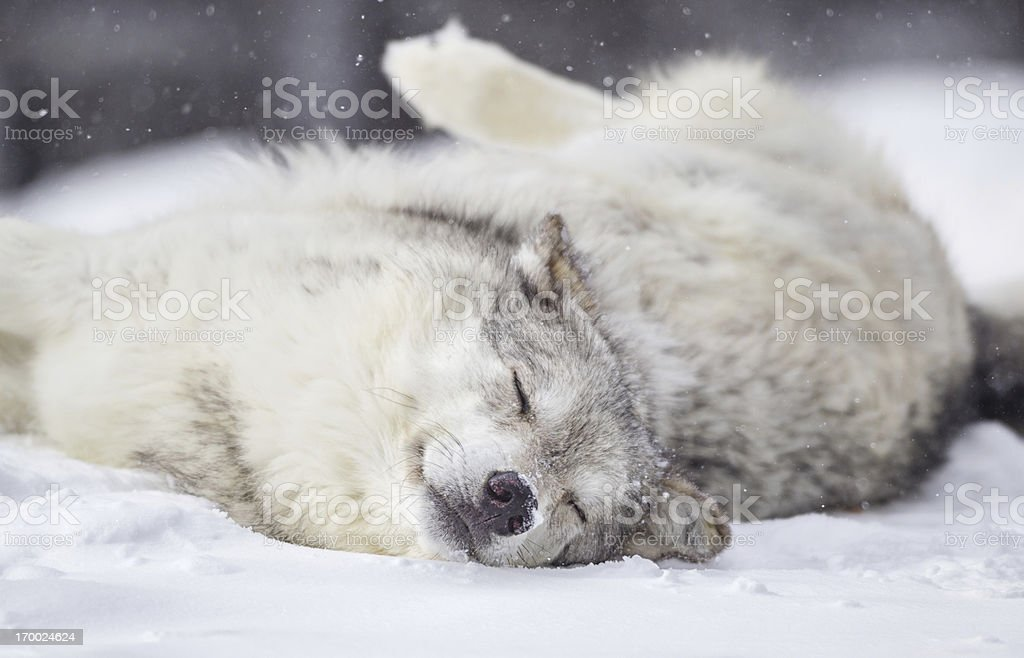 Gray Wolf  Napping in Winter royalty-free stock photo