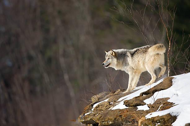 Gray wolf on precipice in wilderness. stock photo