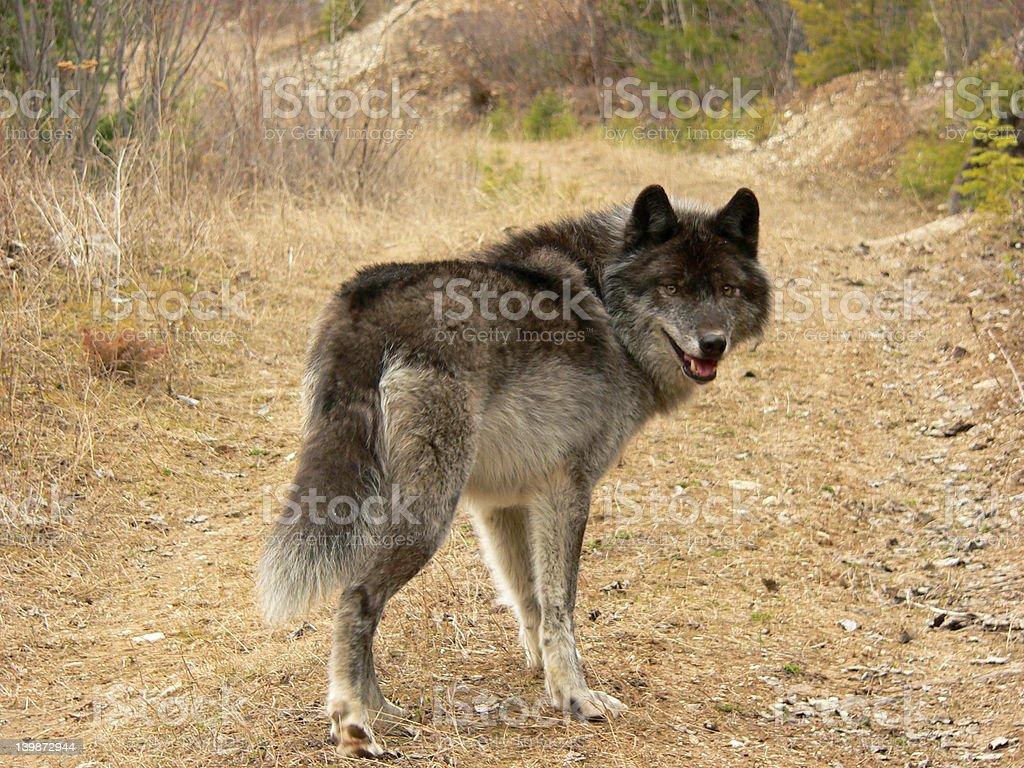 Lobo Cinzento - foto de acervo