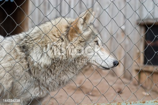 wild gray wolf captived in the rusty cage