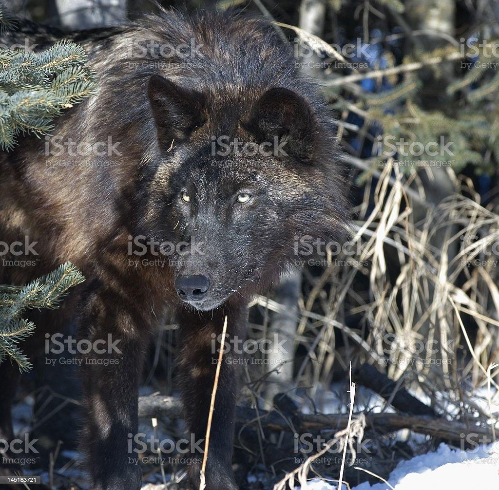 Lobo Cinzento fase (preto - foto de acervo
